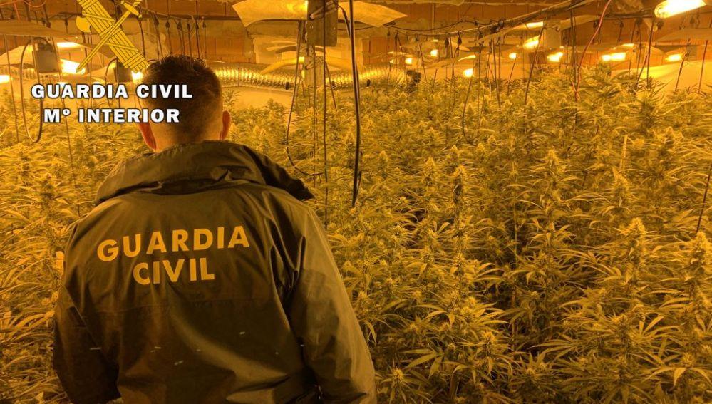 """La Guardia Civil interviene más de 1.300 esquejes de marihuana y 1.600 plantas, en 3 cultivos """"Indoor"""" localizados en Miajadas y Escurial"""