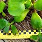 Especie invasora denominada jacinto de agua o camalote hallada por primera vez en la dársena del río Guadalquivir