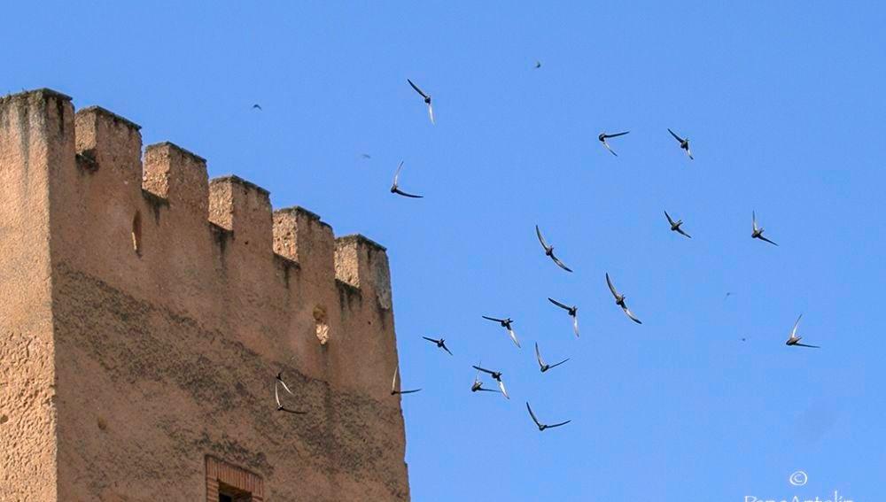 Cinco reclamos sonoros de vencejos se colocan en el entorno del Baluarte de los Pozos en la muralla cacereña