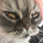 Gato con verruga en ojo