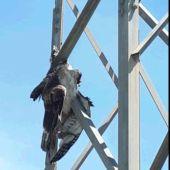 """ANSE denuncia a Iberdrola ante la Fiscalía por la muerte de un águila perdicera"""""""