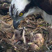 Águila alimenta a pollitos