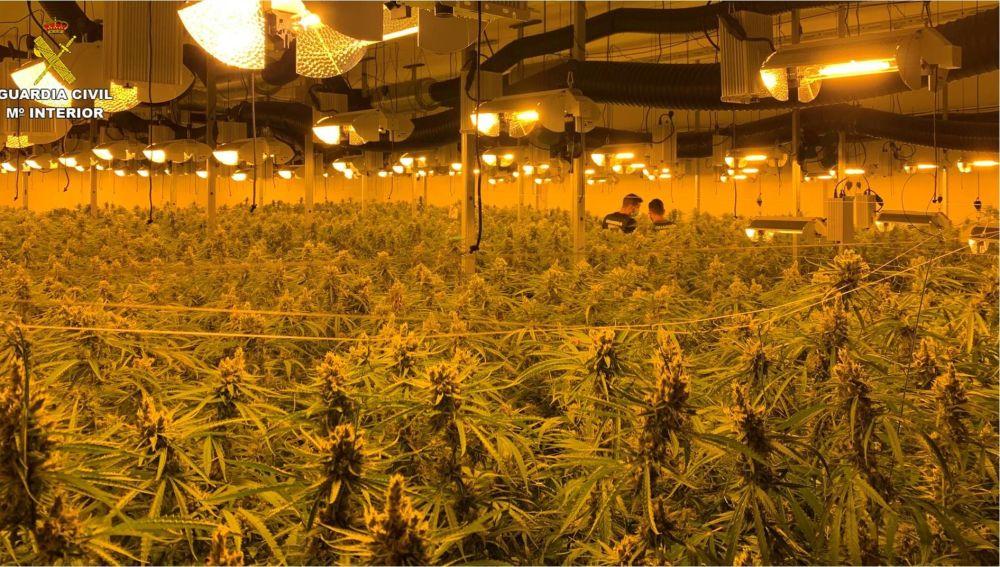 Plantación de marihuana interceptada por la Guardia Civil.