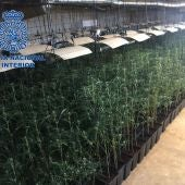 Plantación de marihuana intervenida