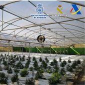 Plantación de marihuana desmantelada en Elche.