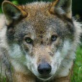 UPA denuncia el aumento de ataques de lobo a las explotaciones ganderas del norte de Palencia