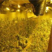Plantación de marihuana desmantelada por la Guardia Civil en Villena.