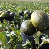 Imagen cultivo melón