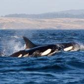 Las orcas atacan cuatro embarcaciones de recreo en el Estrecho