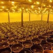 Detenido por cultivar 668 plantas de marihuana en una nave alquilada