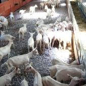 Una explotación ganadera de caprino