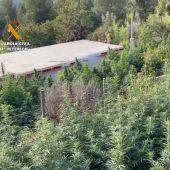 Plantación de marihuana en la Masía la Umbría de Puertomingalvo
