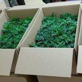 Dos detenidos por portar 960 plantas de marihuana y darse a la fuga