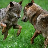 El lobo deja de ser una especie cinegetica