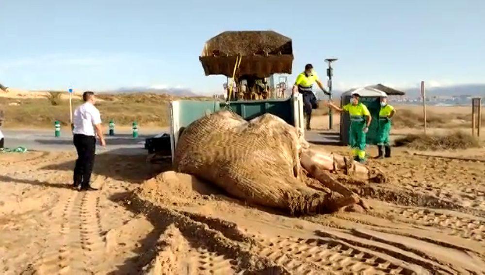 Ejemplar de ballena encontrado muerto en la playa de El Altet.