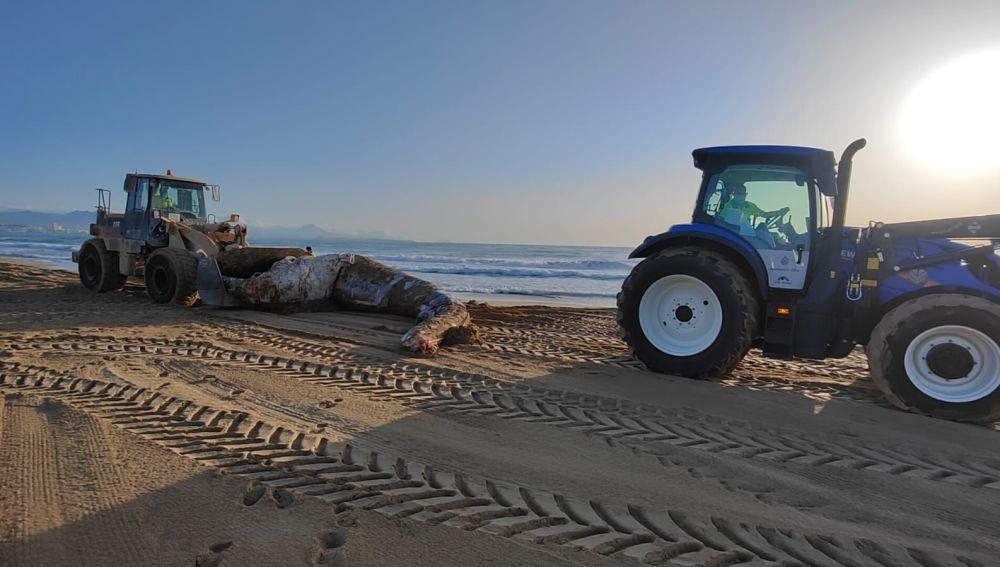 Ballena muerta aparecida en la playa de El Altet de Elche.