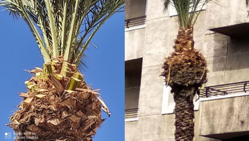 Dos de las palmeras podadas con motosierra,