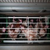 Fotograma del vídeo de la granja de gallinas enjauladas en Yebra