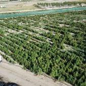 La Guardia Civil incauta un total de 200.000 plantas de marihuana en menos de un mes en la provincia de Toledo
